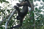 Woolly monkey [br_co-0327]