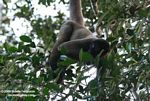 Woolly monkey [br_co-0331]