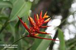 Red Heliconia [br_co-9206]