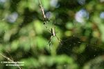 Orb spider [br_co-9211]