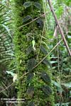 Vine growing up a moss-covered tree trunk