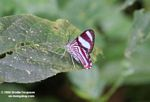 White a dark red-stripped butterfly