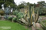 Agave americana 'marginata' (Agavaceae family) (colored, in the right of the pic)