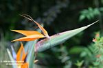 Strelitzia regina native to South Africa