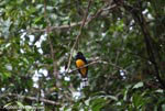 Black-headed trogon (Trogon melanocephalus)