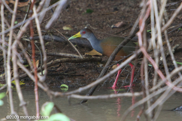 Photo: the lovely gray-necked wood rail