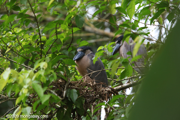 Boat-billed heron in Costa Rica. Photo by: Rhett A. Butler.