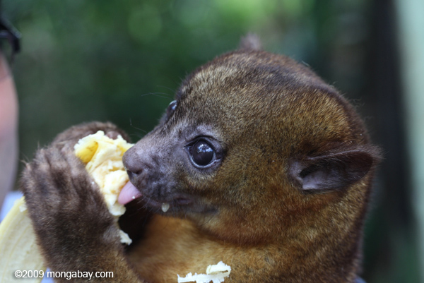Honey bear or kinkajou (Potos flavus) in the process of being rehabilitated