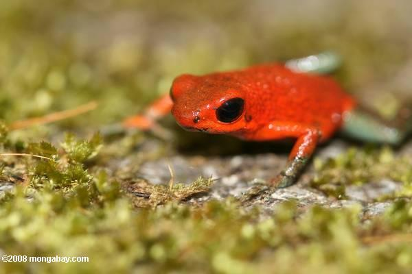 Red-and-green poison arrow frog (Dendrobates granuliferus) in Costa Rica