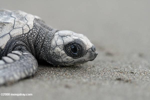 Turtle Hatchling in Costa Rica