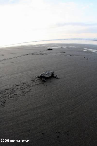 Hatchling Olive ridley sea turtle headed out to sea