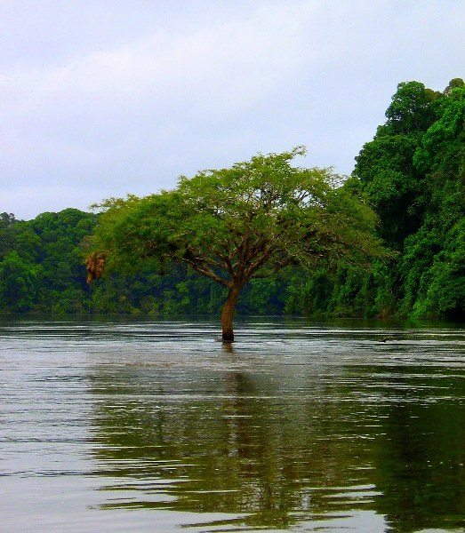Tree submerged in Essequibo River