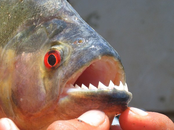 A piranha on the Essequibo River in Guyana. Photo by: Tiffany Roufs..