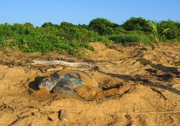 Leatherback sea turtle laying eggs on the beach
