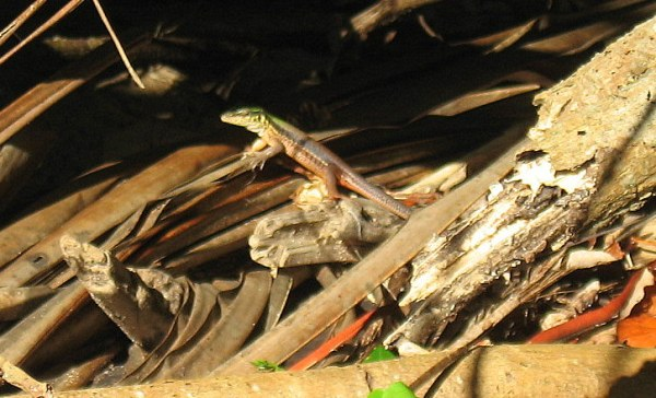 Lizard in the mangroves