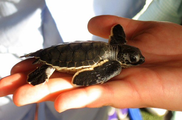 Infant green sea turtle