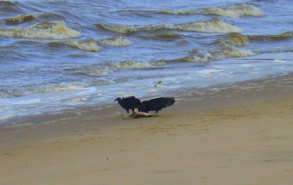 Black vultures on the beach
