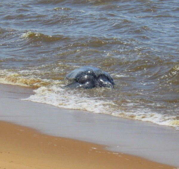 Leatherback sea turtle coming out of the surf