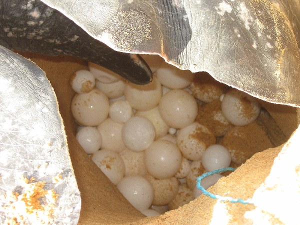Leatherback sea turtle nest. Egg poaching is a considerable problem in many parts of the world. Photo by: Tiffany Roufs.