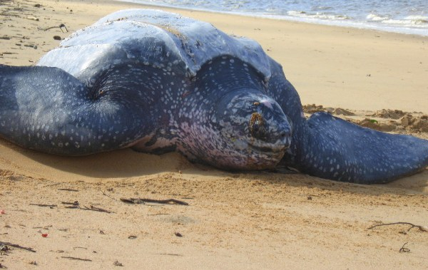 Leatherback sea turtle camouflaging nest in Suriname. Photo by: Tiffany Roufs.