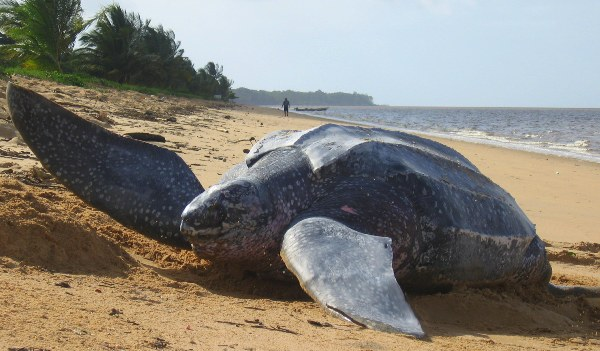 A female leatherback seaturtle camouflaging her nest on a beach in Suriname. Photo by Tiffany Roufs / mongabay.com