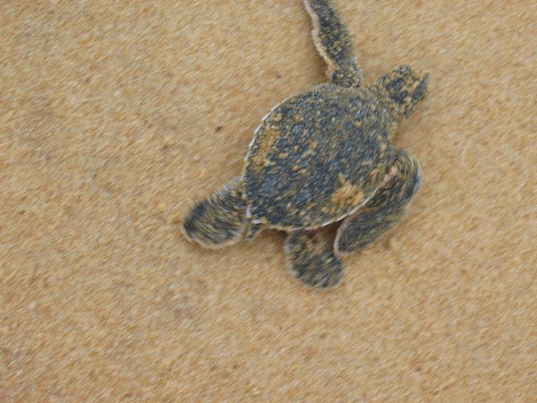 Green sea turtle infant making its way towards the sea