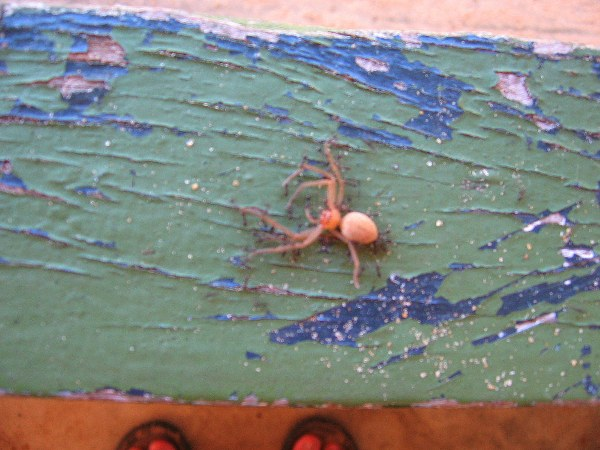Dead spider carried by troupe of ants