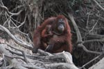 Mama Orangutan with baby in her lap