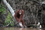 Adult Male Orangutan looking out on the river