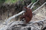 Orangutan crounching on dead tree