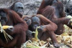 Orangutans feasting on corn