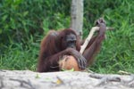 Orangutan examins coconut with a stick [kalimantan_0270]
