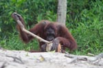 Orangutan examins coconut with a stick