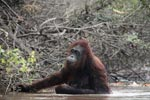 Orangutan wading through the water