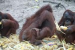 Two orangutans playing