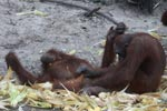 Two orangutans engage in foreplay
