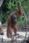Orangutan with oversized walking stick