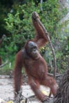 Orangutan with oversized walking stick [kalimantan_0369]