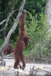 Orangutan balances with assistance from a branch