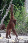 Orangutan balances with assistance from a branch [kalimantan_0378]