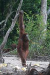 Orangutan balances with assistance from a branch [kalimantan_0380]