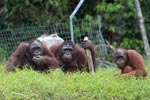 Three Orangutans on a hill