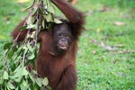 Young Orangutan eating fruit