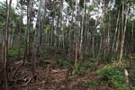 Forest degraded by palm oil orphaned orangutans