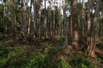 Forest degraded by palm oil orphaned orangutans [kalimantan_0500]