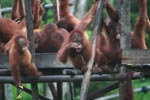 Baby Orangutan accidentally drops its food