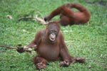 Two young orangutans play with sticks