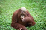 Orangutan with a coconut hat [kalimantan_0525]