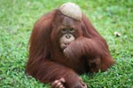 Orangutan with a coconut hat