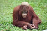 Orangutan with a coconut hat and leaf in mouth [kalimantan_0535]